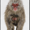 スノーモンキーのいる地獄谷野猿公苑は、世界的観光スポット!